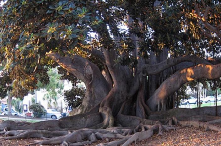 fig tree balboa park 3